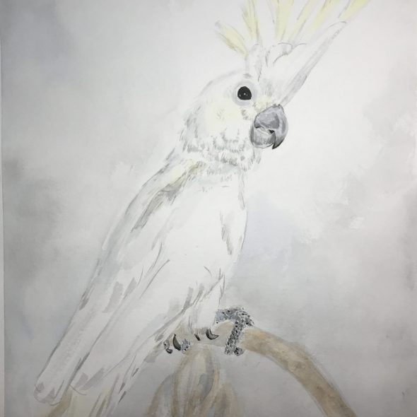 Watercolor and ink painting of a sulfur crested cockatoo perched on a chair back